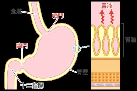 胃の「仕組み」