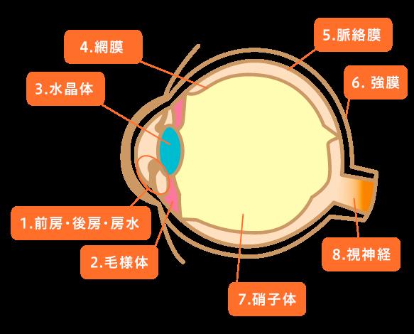 「横」から見た眼の構造(断面図)