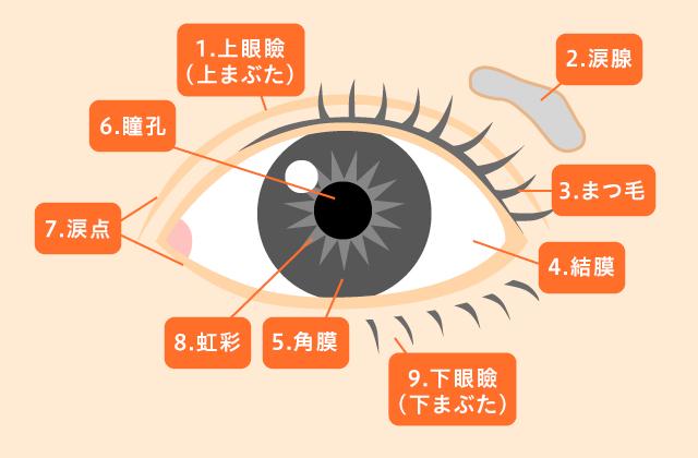 「正面」から見た目の構造(外観図、左目)